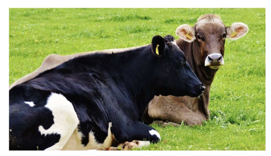Prioritize Well Being Throughout The Transition Period Dairy Business News